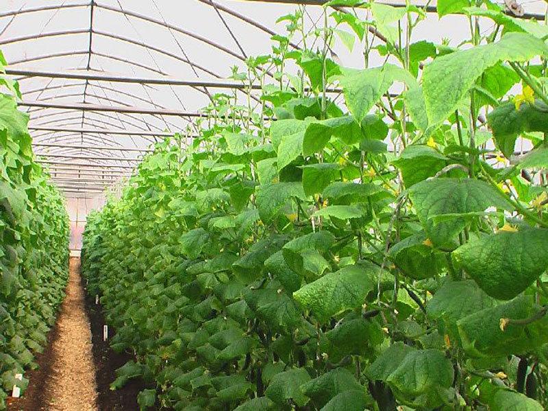Полезное соседство овощей на грядках: можно ли в одной теплице сажать и огурцы, и помидоры. таблица совместимости, схема и фото