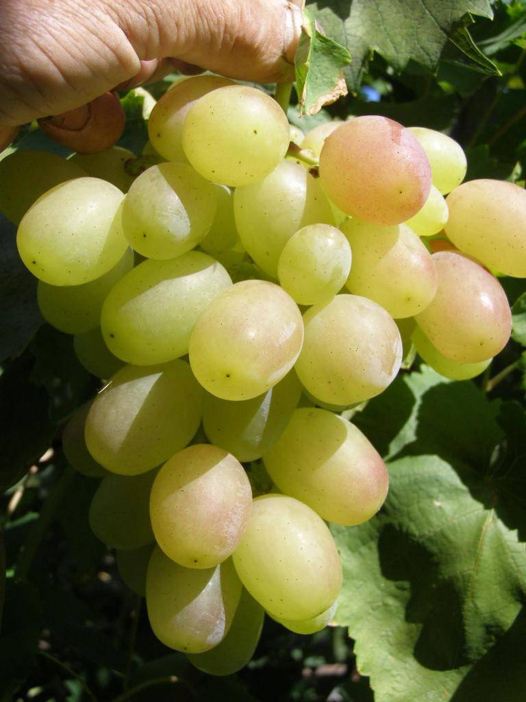 Виноград сорта кеша: описание, особенности ухода