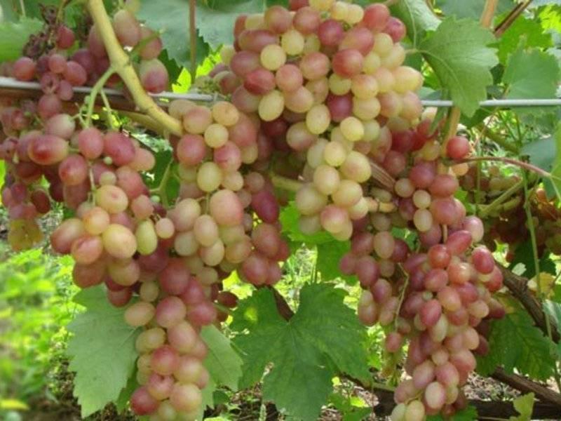 Сокровище для тех, кто любит мускат — виноград тасон