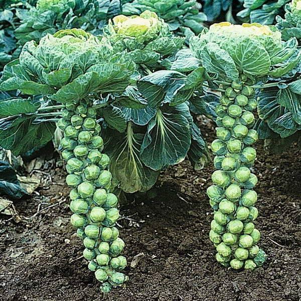 Брюссельская капуста: посев, выращивание и уход