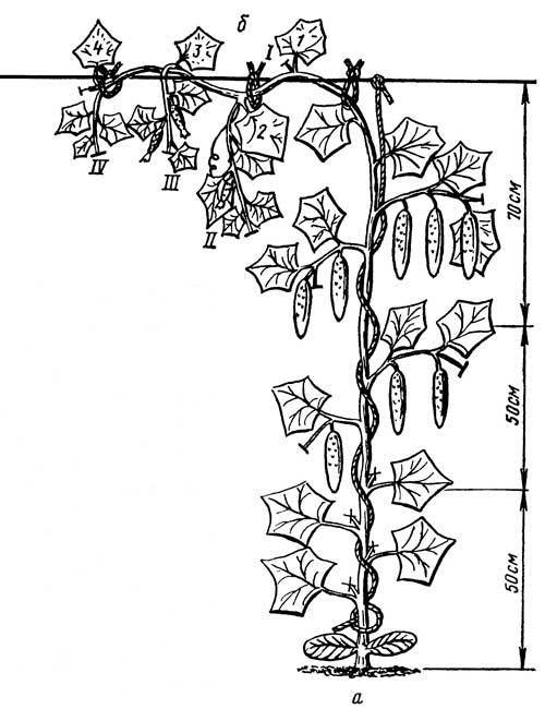 Как правильно делать обрезку огурцов, растущих в теплице