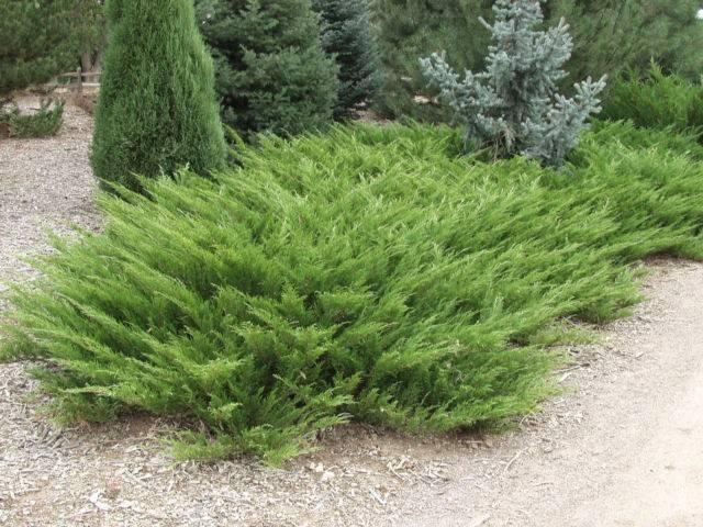 Можжевельник казацкий мас (juniperus sabina mas)