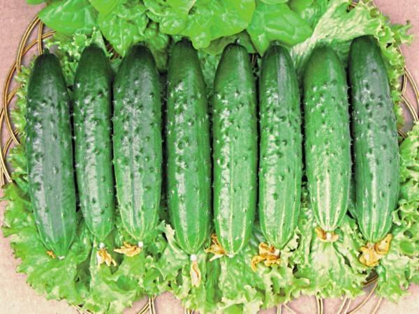 Самоопыляемые сорта огурцов для теплиц и открытого грунта