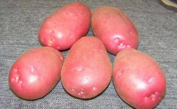 Сорт картофеля любава: описание, посадка и уход