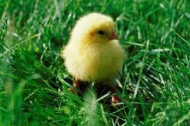 Можно ли давать цыплятам отвар из крапивы. как и когда давать крапиву цыплятам бройлерам. техника кормления кур