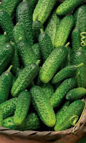 Сорт огурцов пасамонте: описание, характеристика, выращивание и уход