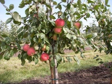 Разные сорта яблонь: кустовидные, новые и старые, стволовые и др.