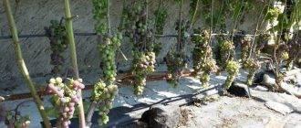 Инструкция по выращиванию винограда из косточки