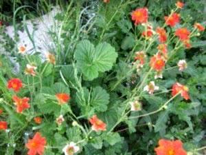 Гравилат с фото: уход, посадка, выращивание из семян и основные сорта. гравилат посадка и уход в открытом грунте выращивание из семян в домашних условиях и грунте