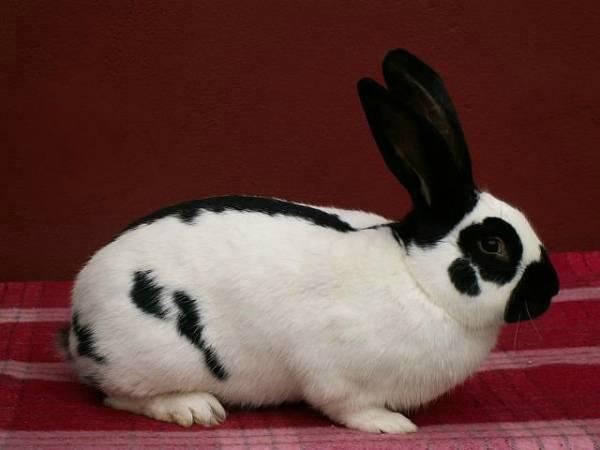 Кролик бабочка: описание породы и особенности разведения