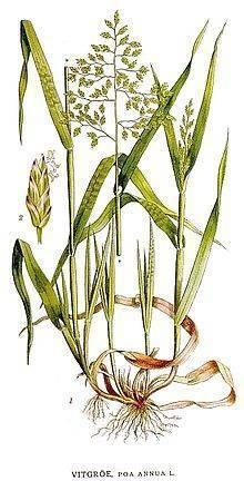 Мятлик луговой — википедия с видео // wiki 2
