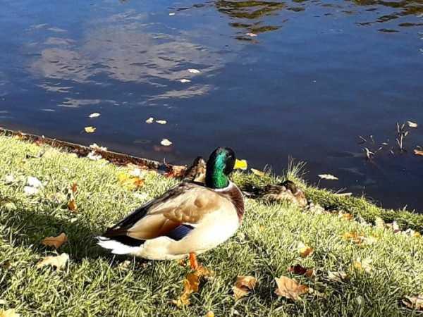 Чем кормят диких уток? что можно давать уткам зимой в парке и на пруду? чем питаются птицы в природе? едят ли они хлеб? чем нельзя подкармливать?