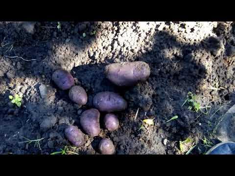 Красивый сорт картофеля для диетического питания «василек»