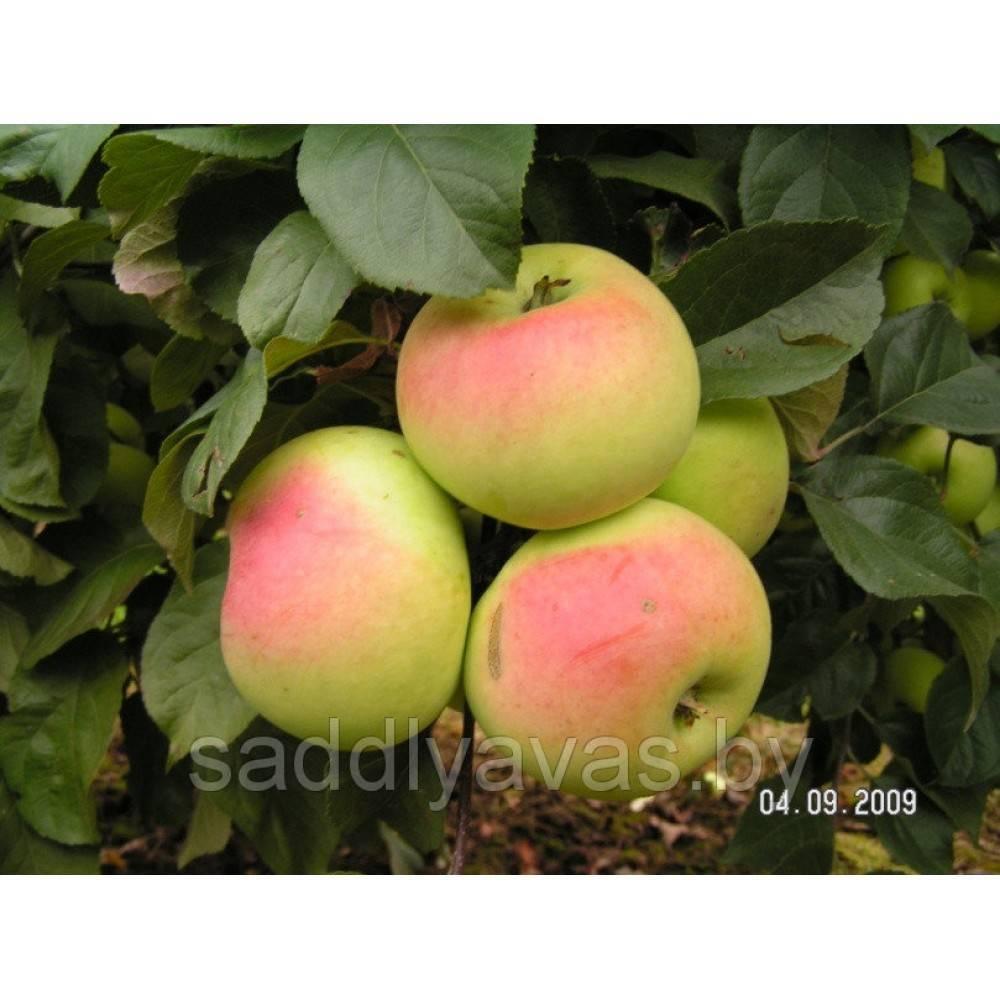 Описание и характеристики яблони сорта имрус, выращивание и размножение