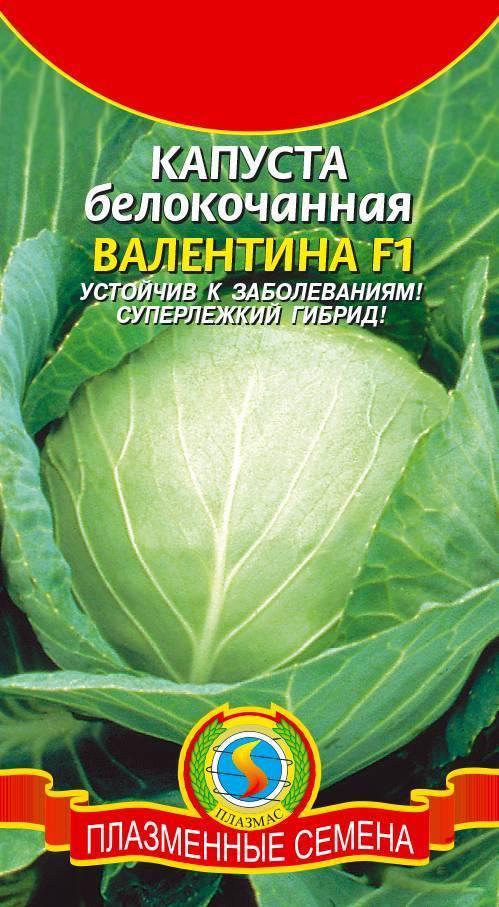 О капусте московская поздняя: описание и характеристика белокочанного сорта