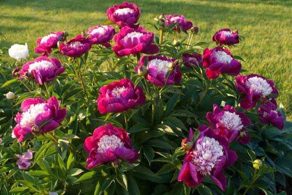 Пионы осенью: посадка и размножение, когда пересаживать