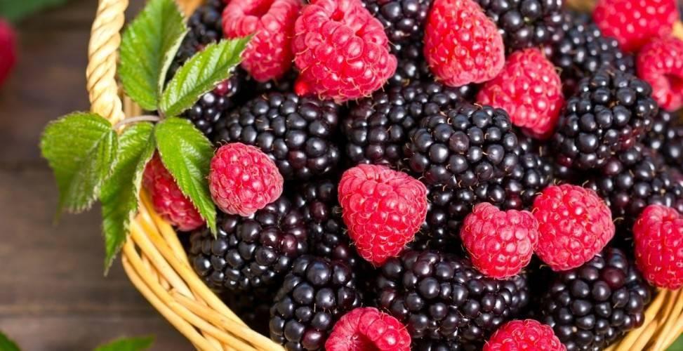 Черный жемчуг кумберленд – слаще малины, ароматней ежевики!