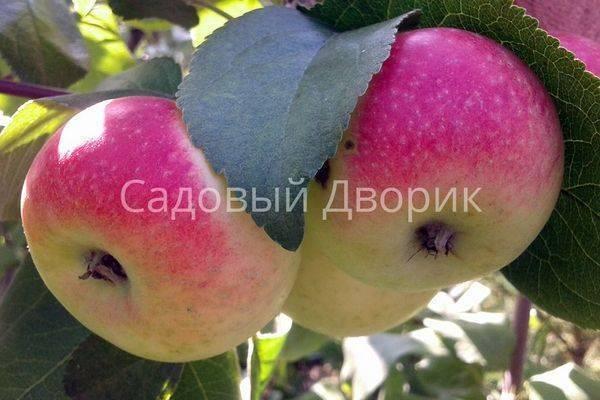 Особенности технологии выращивания яблонь