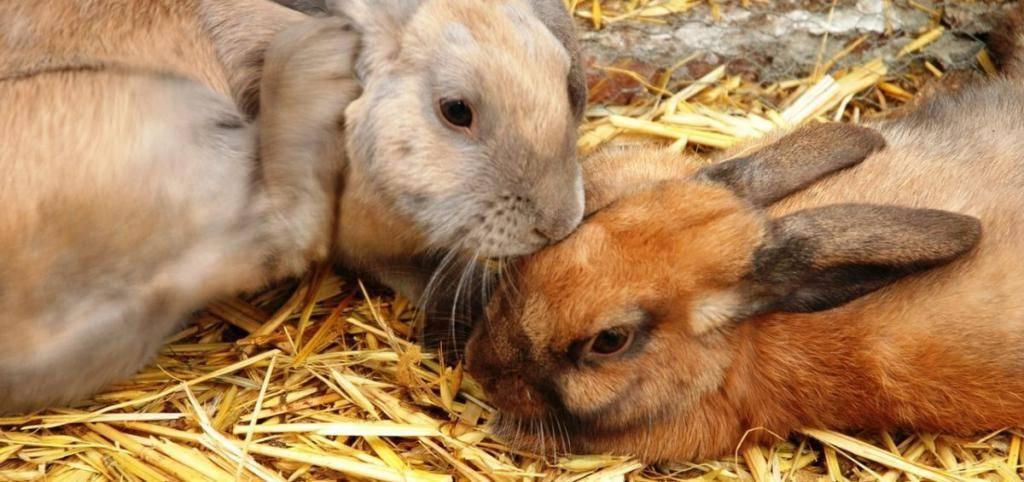 Можно ли давать пшеницу кроликам: в каком виде и каких количествах