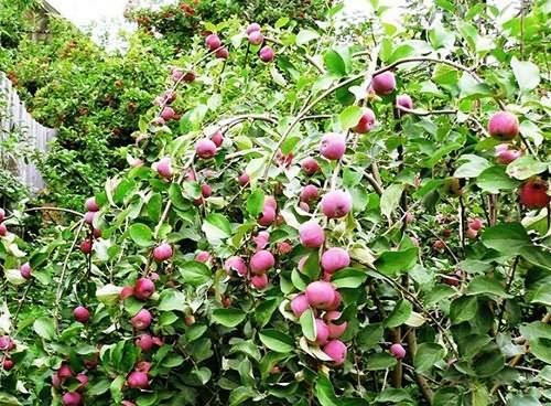Карликовая яблоня соколовское
