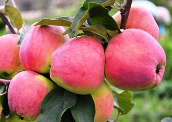 Особенности выращивания и уход за яблоней «кандиль орловский»