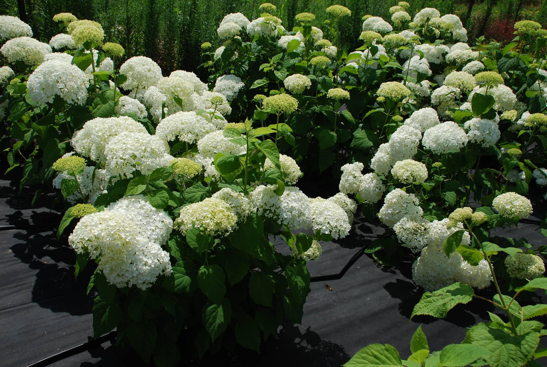 Гортензия анабель: выращивание в открытом грунте