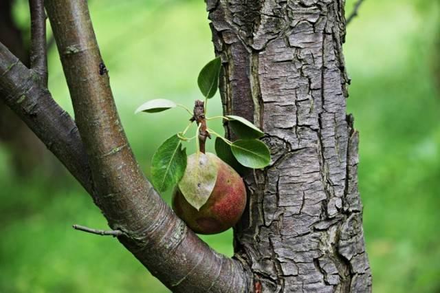 Полезные рассуждения на тему: — «можно ли привить грушу на яблоню?»