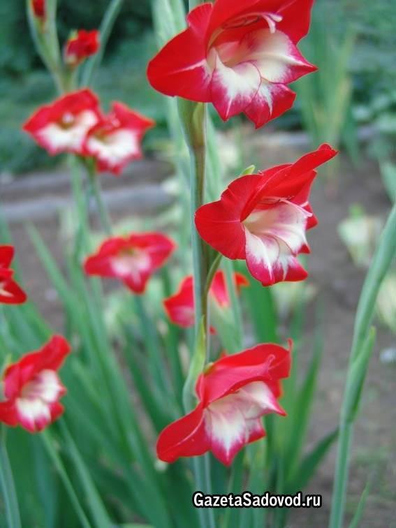 Гладиолусы - посадка и выращивание. болезни гладиолусов