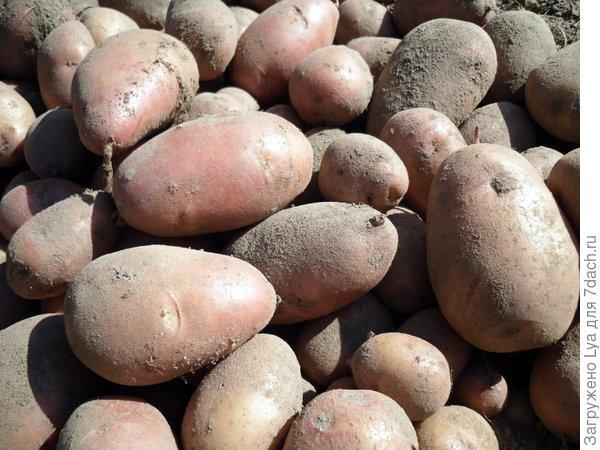 Что делать если картошка замерзла – как переработать клубни