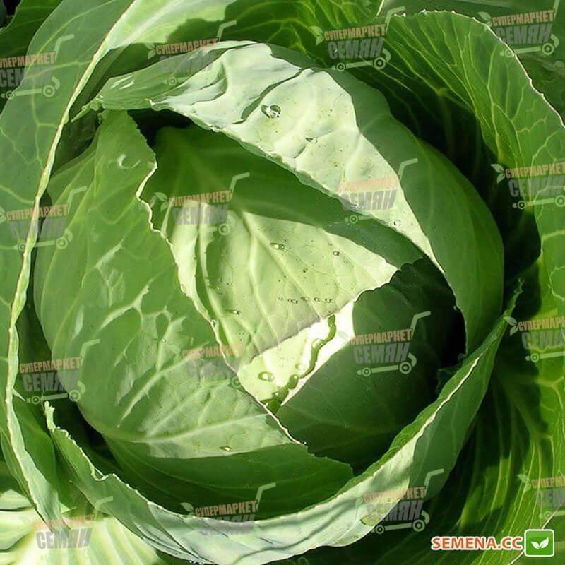 Как вырастить капусту слава из семян и через рассаду? описание и характеристика сорта
