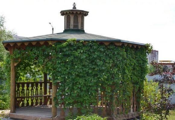 Выращивание винограда на беседке