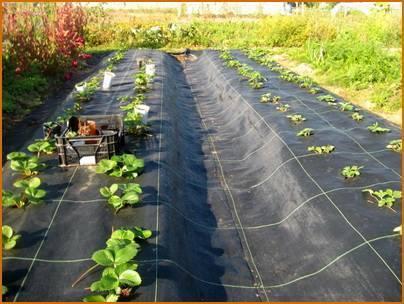 Укрывной материал для клубники для выращивания и посадки