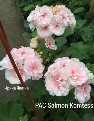 Разновидности пеларгонии salmon (салмон): найт, квин, приори и другие