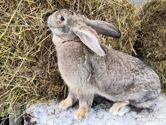 Какие породы кроликов лучше разводить на мясо
