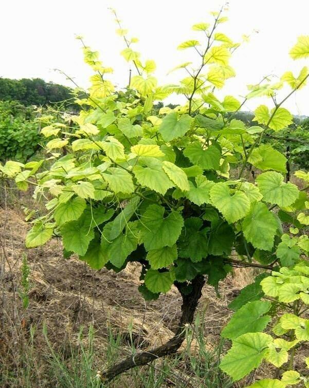 Виды и признаки хлороза винограда: фото