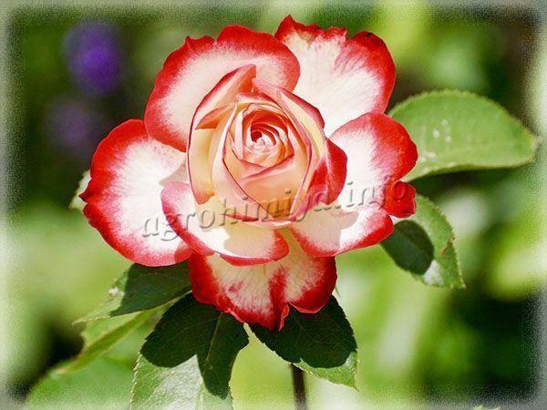 Чем подкармливать садовые розы для обильного цветения и во время его?