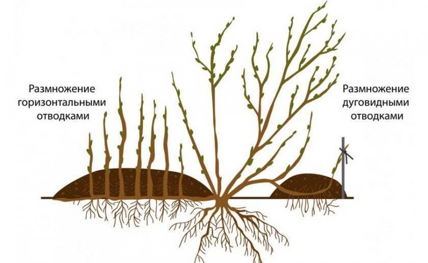 Шелковица: выращивание и уход, посадка и обрезка