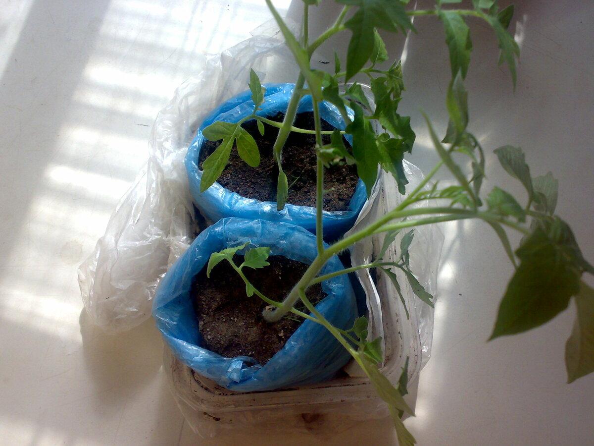 Опрыскивание борной кислотой помидоров в теплице для подкормки