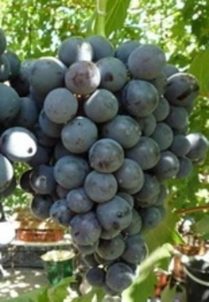 Сорт винограда «страшенский»