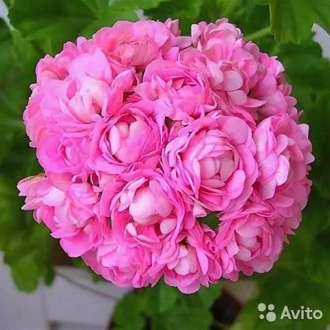 Пеларгония розебудная (36 фото): описание герани unicorn zonartic rose и millfield rose, jubilee rose и ice rose, monseruds rosen и других сортов