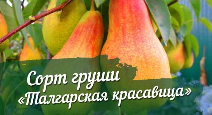 Ваш сад украсит груша талгарская красавица
