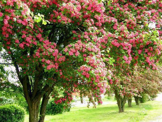 Боярышник крупноколючковый декоративные деревья и кустарники