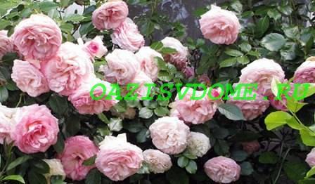 Сроки и правила осенней пересадки роз