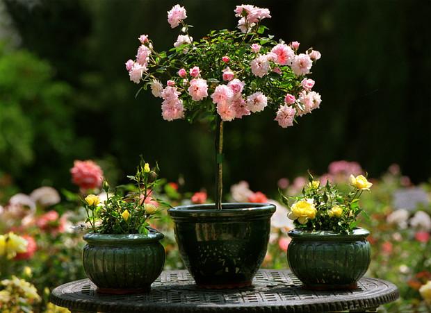 Условия ухода за комнатной розой: полив, пересадка, обрезка и варианты размножения