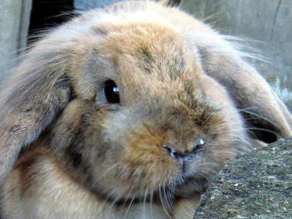 У кролика болят уши чем лечить в домашних условиях
