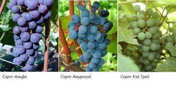 Самые лучшие сорта винограда для средней полосы россии