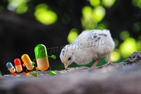 Чем кормить цыплят