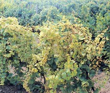 Обработка винограда железным купоросом: преимущества и недостатки препарата, как разводить, когда обрабатывать, отзывы