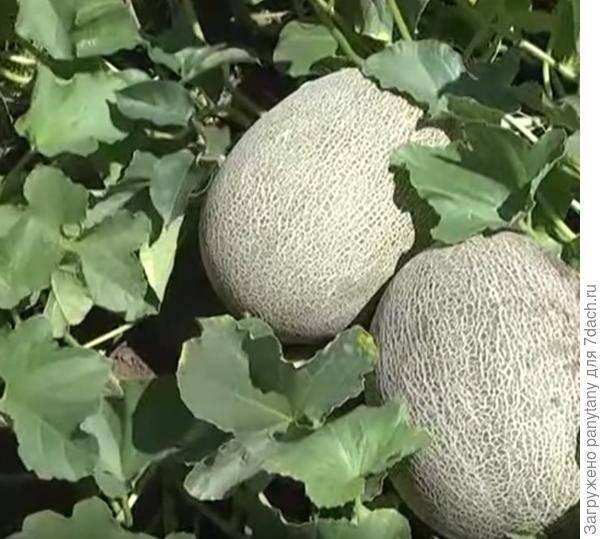Реально ли вырастить дыню в сибири: опыт огородников