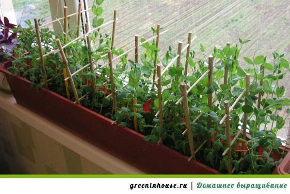 Посадка гороха весной посев: когда сеять, как сажать правильно?